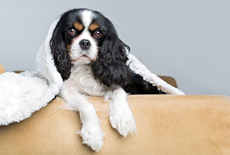 best dog breeds for apartments