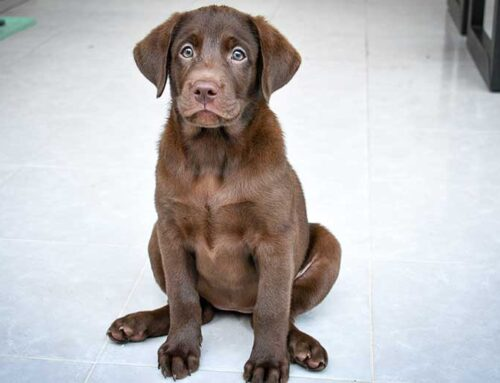 Is Labrador Retriever the Right Breed For You?