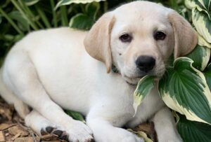 Is Labrador Retriever the Right Breed For You